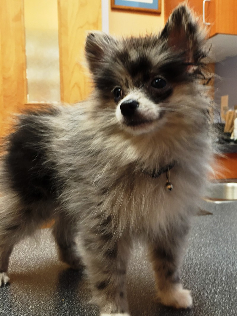 A small fluffy white and black puppy