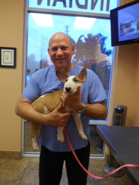 The veterinarian holding a tan and white bull terrier puppy