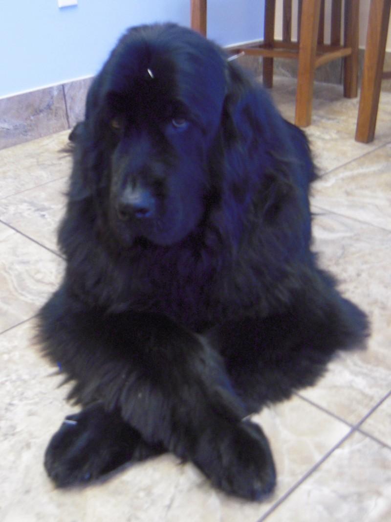 A large black fluffy dog