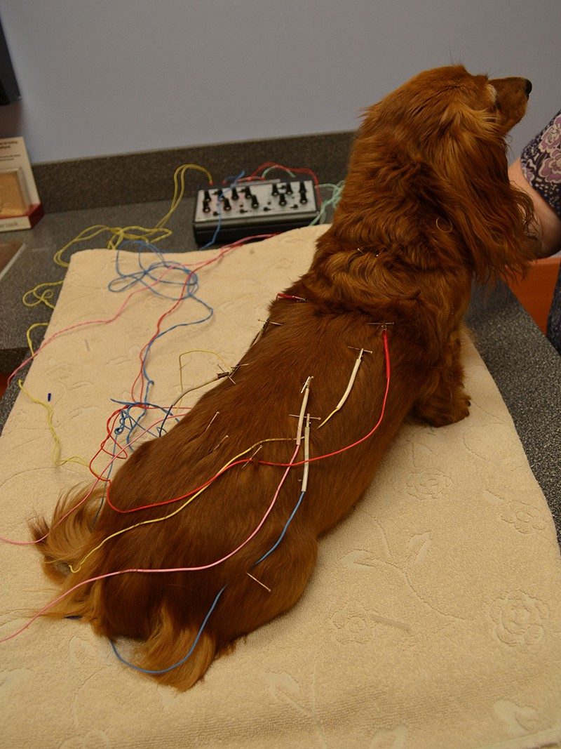 A long haired dachshund receiving acupuncture