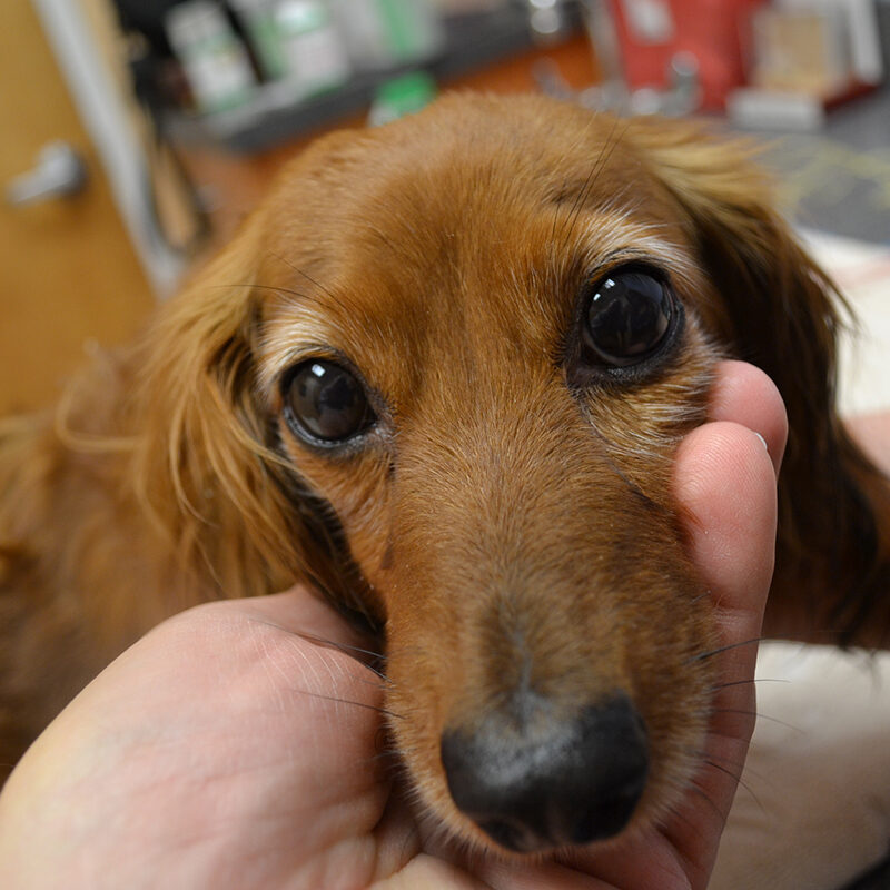 A long haired brown dachshund receiving acupuncture