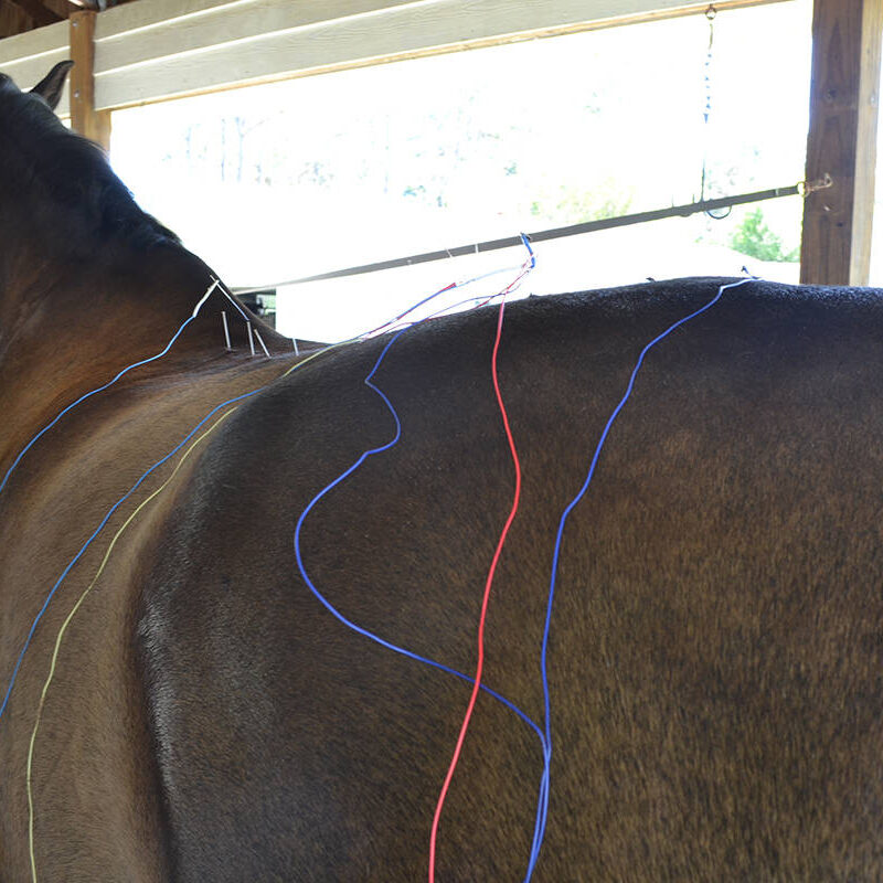 A brown horse receiving acupuncture