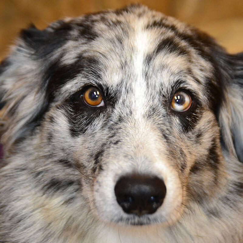 A close up of a grey and black Australian Shepherd